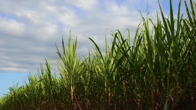 sugar cane crops timelapse - canna da zucchero video stock e b–roll