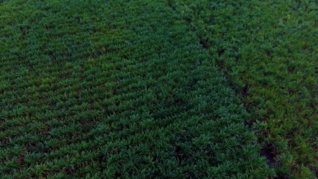 sugar cane farming  in front of mountain at dusk. - биомасса возобновляемая энергия стоковые видео и кадры b-roll