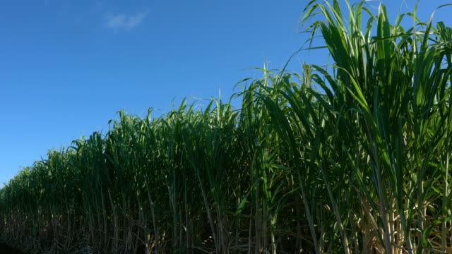 Sugar Cane Field in Miyako island, Okinawa, Japan video