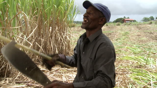 Sugar Cane Field Clip of sugar cane workers working on a plantation field in Barbados sugar cane stock videos & royalty-free footage