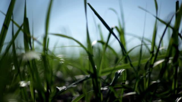 sugar cane field. - сахарный тростник стоковые видео и кадры b-roll