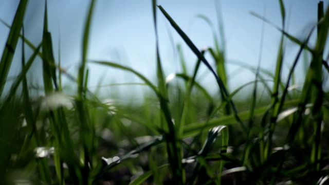 sugar cane field. - canna da zucchero video stock e b–roll