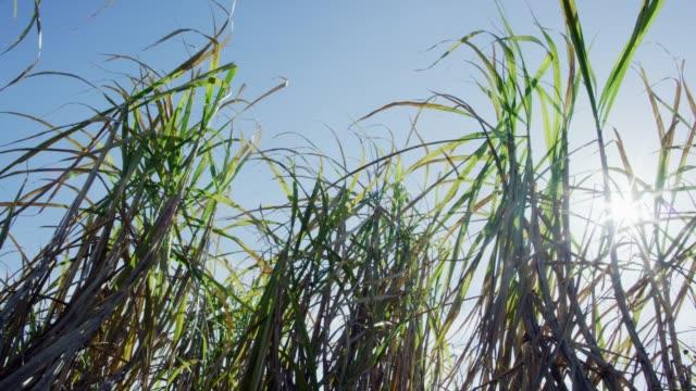 sugar cane leaves sway in the breeze under a clear, blue sky in southern louisiana - canna da zucchero video stock e b–roll