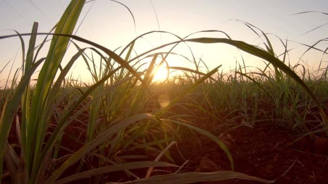 sugar cane plantation finger hand sunset - canna da zucchero video stock e b–roll