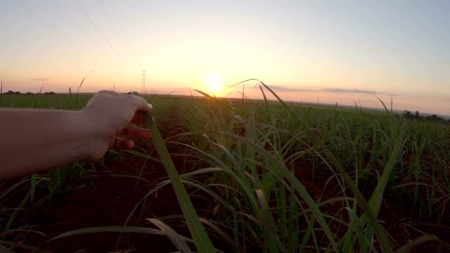 sugar cane plantation finger hand sunset - сахарный тростник стоковые видео и кадры b-roll