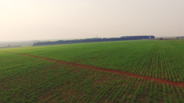 Sugar cane plantation sunset aerial video