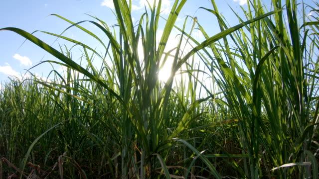 zuckerrohr-plantage-sonnenuntergang - schilf stock-videos und b-roll-filmmaterial