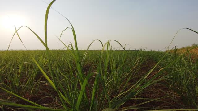 Sugar cane plantation sunset video