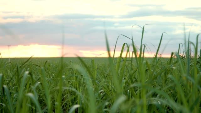 sugar cane plantation sunset view - canna da zucchero video stock e b–roll