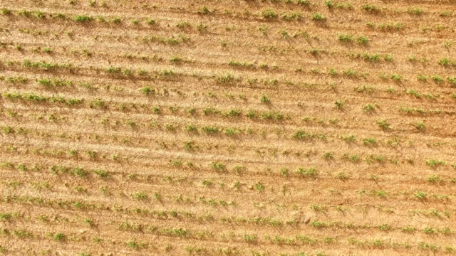sugar cane plantation video