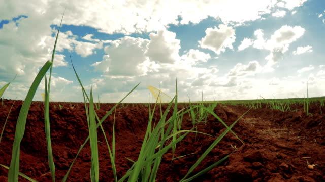 sugar cane sunset plantation beautiful irrigation - canna da zucchero video stock e b–roll