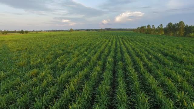 sugarcane aerial view 4k - canna da zucchero video stock e b–roll