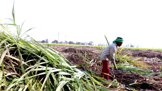sugarcane crop harvesting - canna da zucchero video stock e b–roll