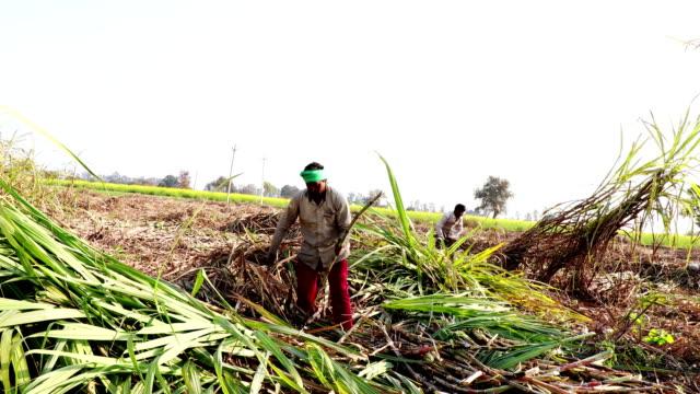 Sugarcane crop harvesting Rural farmer harvesting sugarcane crop outdoor in the nature during winter season. sugar cane stock videos & royalty-free footage