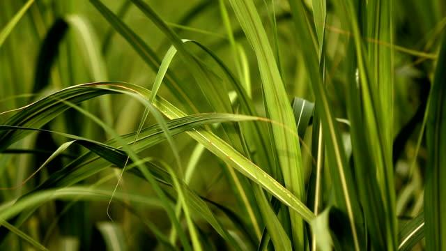 sugarcane field - сахарный тростник стоковые видео и кадры b-roll
