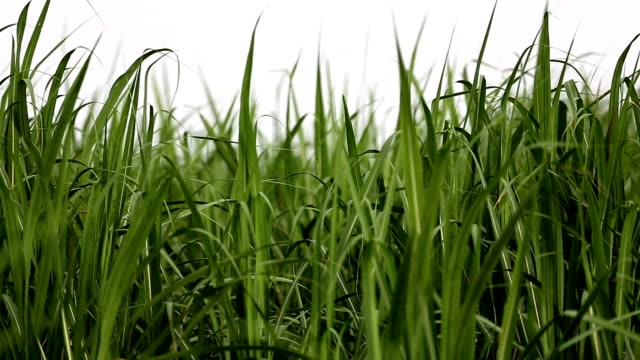 sugarcane field - canna da zucchero video stock e b–roll