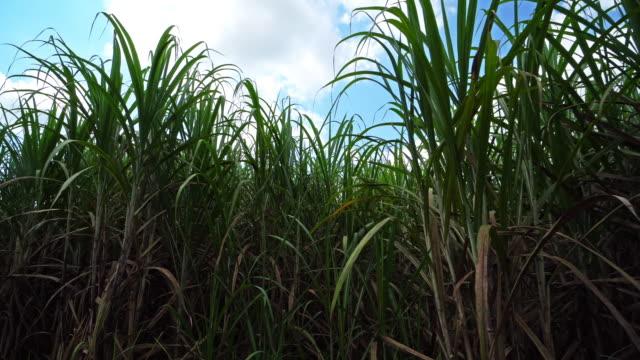 sugarcane field with cumulus clouds - canna da zucchero video stock e b–roll