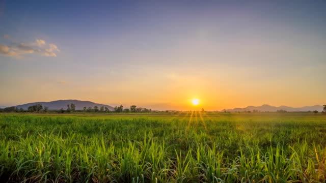 sugarcane field with sunset - canna da zucchero video stock e b–roll