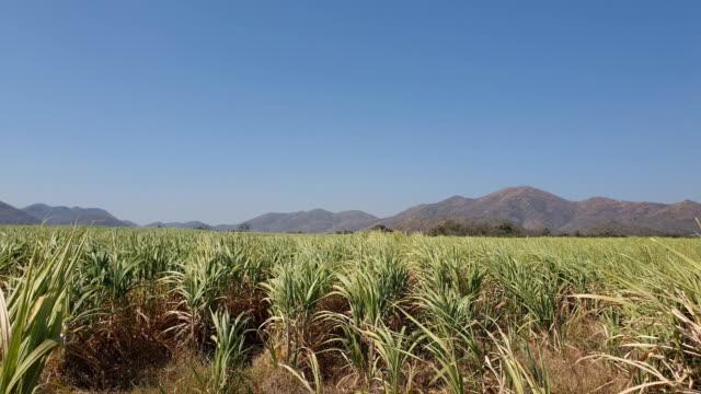 sugarcane plantation - canna da zucchero video stock e b–roll
