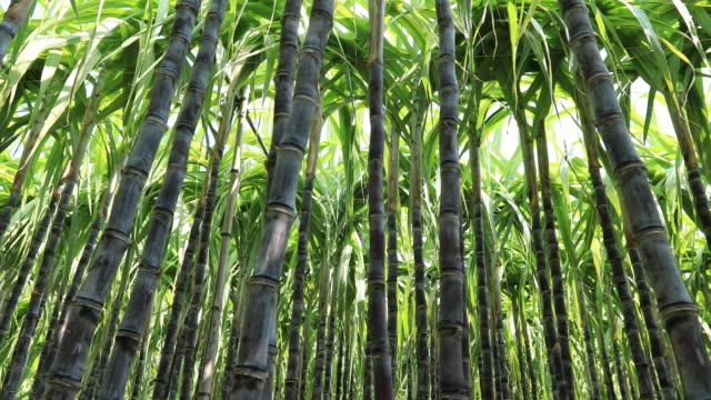 sugarcane plants blowing in the wind at field - сахарный тростник стоковые видео и кадры b-roll
