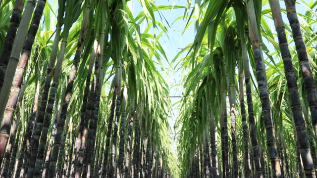 Sugarcane plants growing at field Sugarcane plants growing at field sugar cane stock videos & royalty-free footage