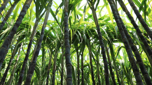 sugarcane plants growing at field - сахарный тростник стоковые видео и кадры b-roll