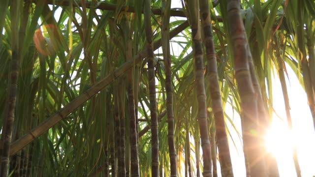 растения сахарного тростника, растущие на местах - сахарный тростник стоковые видео и кадры b-roll