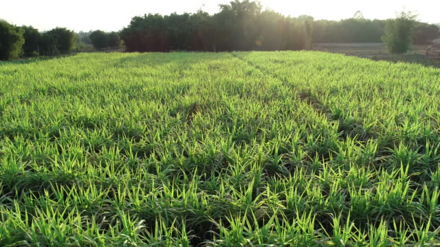 sugarcane plants growing at field - canna da zucchero video stock e b–roll