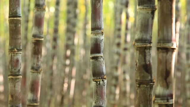 sugarcane plants in growth at field - stelo video stock e b–roll