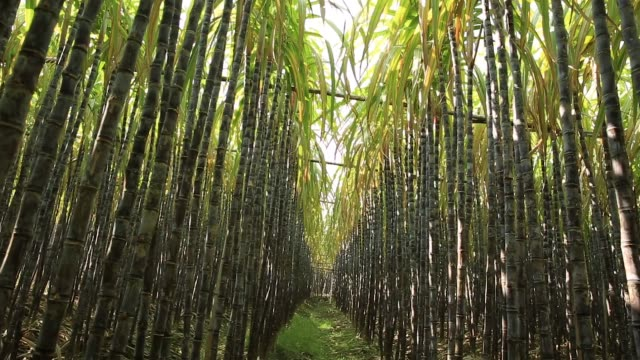 sugarcane plants in growth at field sugarcane plants in growth at field sugar cane stock videos & royalty-free footage