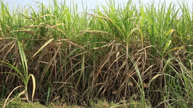 sugarcane plants in growth at field - canna da zucchero video stock e b–roll