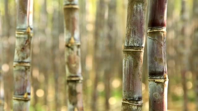 piante di canna da zucchero in crescita nel campo - canna da zucchero video stock e b–roll