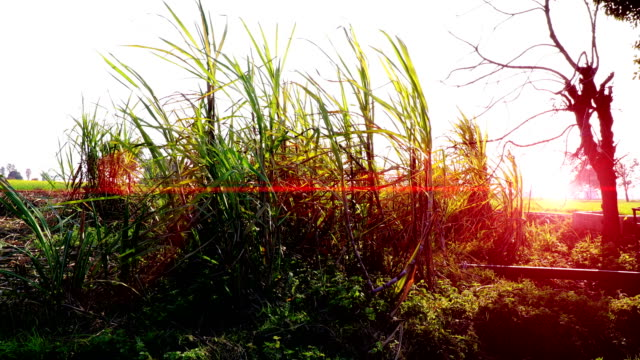 sugarcane plants swaying through wind outdoor in the nature - canna da zucchero video stock e b–roll