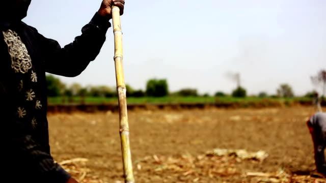 Sugarcane Unrecognizable person cutting sugarcane in pieces for new crop plantation. sugar cane stock videos & royalty-free footage