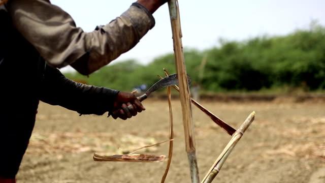 sugarcane - canna da zucchero video stock e b–roll