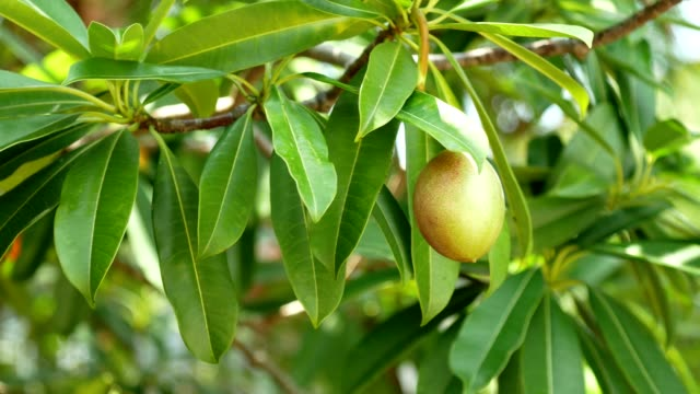 Suicide tree or pong-pong (Cerbera odollam) fruits that contain poison cerberin.