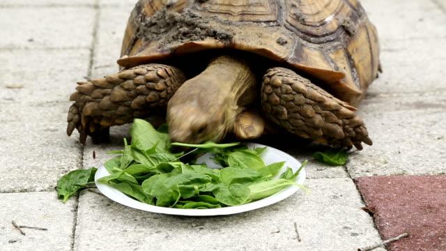 Tartaruga de sulcata que come o espinafre em uma placa - vídeo
