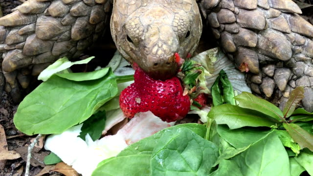 Tartaruga sulcata comendo morango e espinafre - vídeo