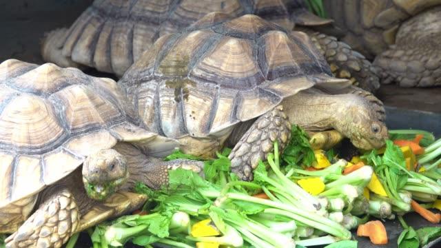 Sulcata tortoise Sulcata tortoise eating vegetable tortoise stock videos & royalty-free footage