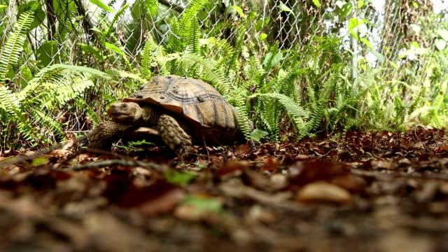 Tartaruga sulcata andando por aí - vídeo