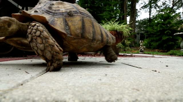 Tartaruga sulcata andando para a esquerda - vídeo