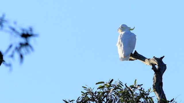 Kaketoe, Cacatua galerita, hooggelegen in boom video