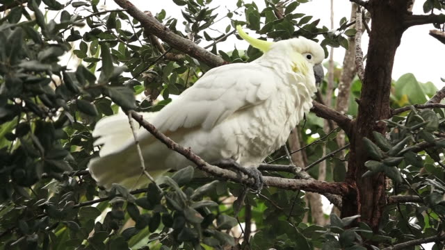 Sulphur-crested cockatoo sit on a tree branch