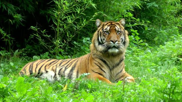 sumatra vuxen tiger vilar på en naturlig bakgrund. - tiger bildbanksvideor och videomaterial från bakom kulisserna