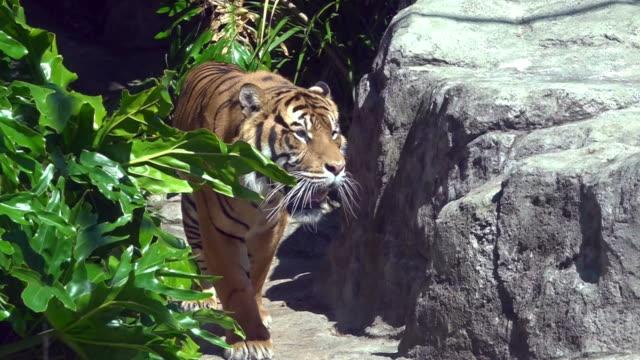 vídeos y material grabado en eventos de stock de tigre real de sumatra (panthera tigris sumatrae) va - tigre
