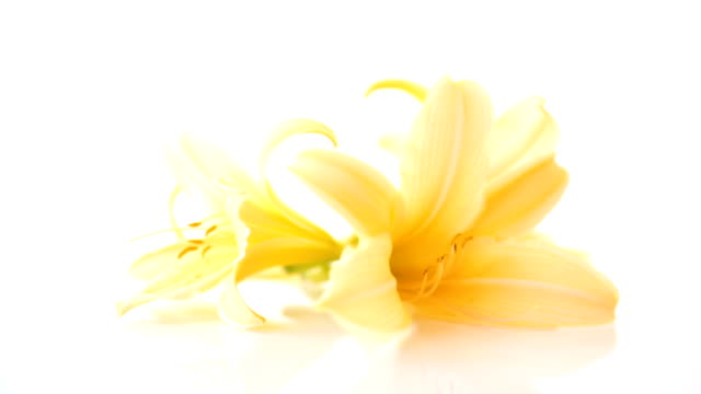 summer blooming flowers of yellow lily isolated on white