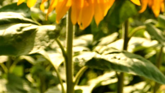 vidéos et rushes de tournesols lumineux d'été. tir régulier, scène de plan rapproché - tige d'une plante