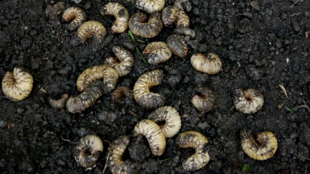 Summer Chafer Unearthing From The Ground video
