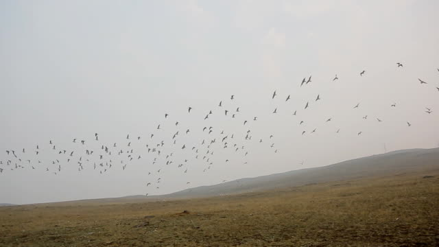 Summer, cloudy day.A flock of flying birds take off from the hills against the sky. Gradually increasing the number of birds. around any trace of civilization, wilderness, empty highlands video
