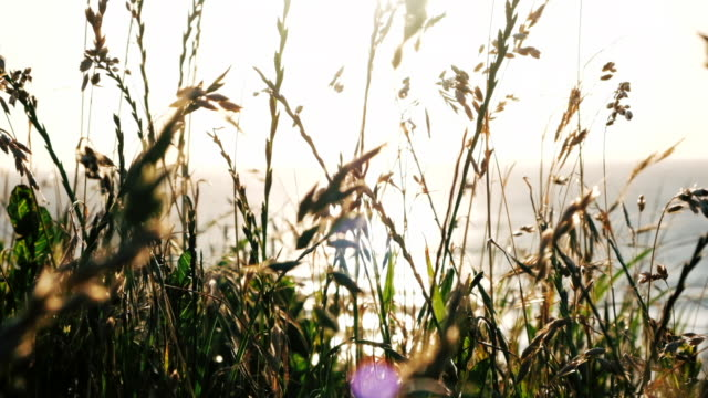 Summer Cornish sunset, backlit wild grasses and Rye swaying in slow motion near sunset on a June evening. video